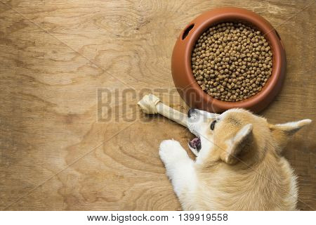 A corgi dog biting a dog bone besides a bowl of kibble food