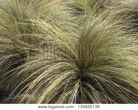 Cluster of green and gold Australian Coastal Tussock Grass poster