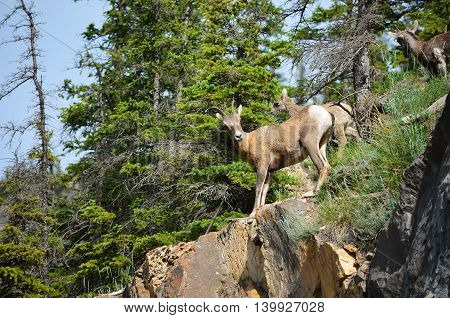 Mountain goat climbing on the cliff of mountain looking at people