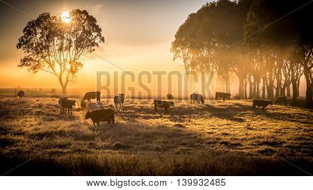 a herd of cattle in pasture standing in early morning fog
