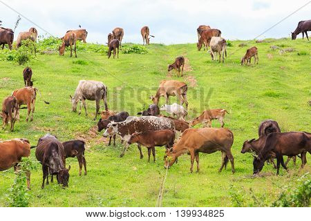 Thai Domestic Beef Cattle