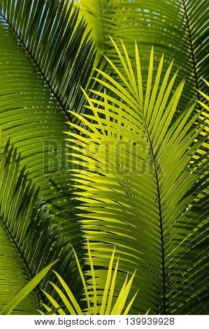 close up of sunlit palm tree fronds