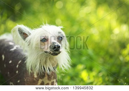 Chinese crested dog on green grass