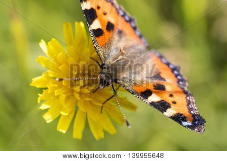 Small Tortoiseshell Butterfly close up with a green background.