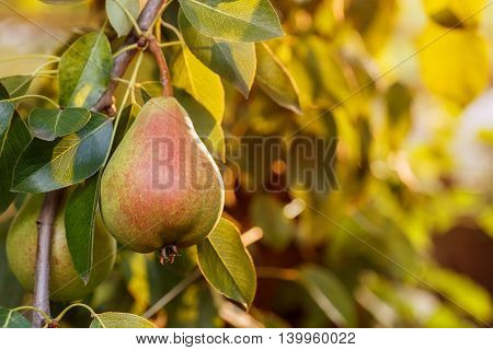Pears on a tree branch closeup in orchard. Pear fruit on the tree in the fruit garden. Pear hanging on tree. Fruit background