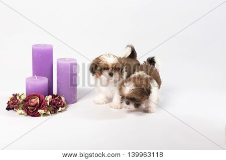 Two cute shih-tzu puppies with holliday candles isolated on the white background