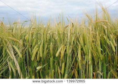 rye stalks are sprouting on schedule in the middle of the summer poster