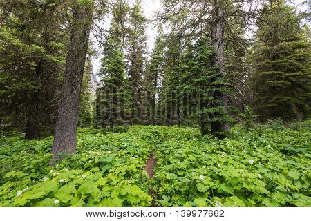 Trail Over Grown With Thimbleberry in forest