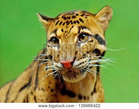 Portrait of clouded leopard against green background