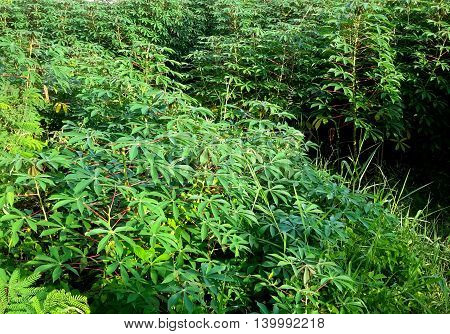 cash crop field of sunlit manioc, or cassava, plants along access road near Songkhla, Thailand