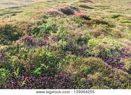full frame colorful heath vegetation detail seen in Brittany France