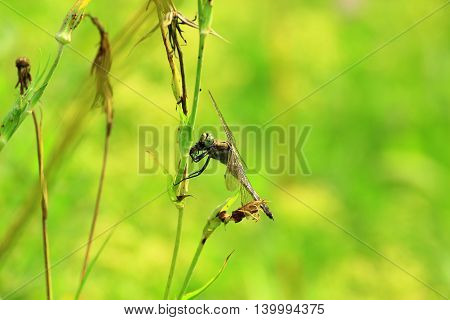 Dragonfly caught a fly and sat down on a juicy blade of grass to absorb to catch prey on yellow-green background of the surrounding vegetation