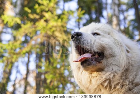 Portrait of Great Pyrenees Dog in nature