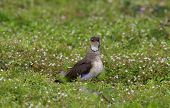 Oriental Pratincole (Glareola maldivarum) Bird on the ground in nature at Bang Pra Reservoir, Thailand poster