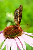 A great spangled fritillary pollinating a pruple coneflower. poster