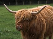 Hairy scottish highland cattle with great hairdo and long horns. poster