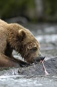 Brown Bear Eating Salmon while sitting in Brooks River Alaska poster