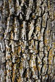 Wood texture: mossy bark of an old tree. poster