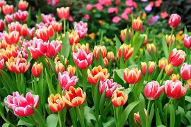 beautiful colorful tulips flowers in a field