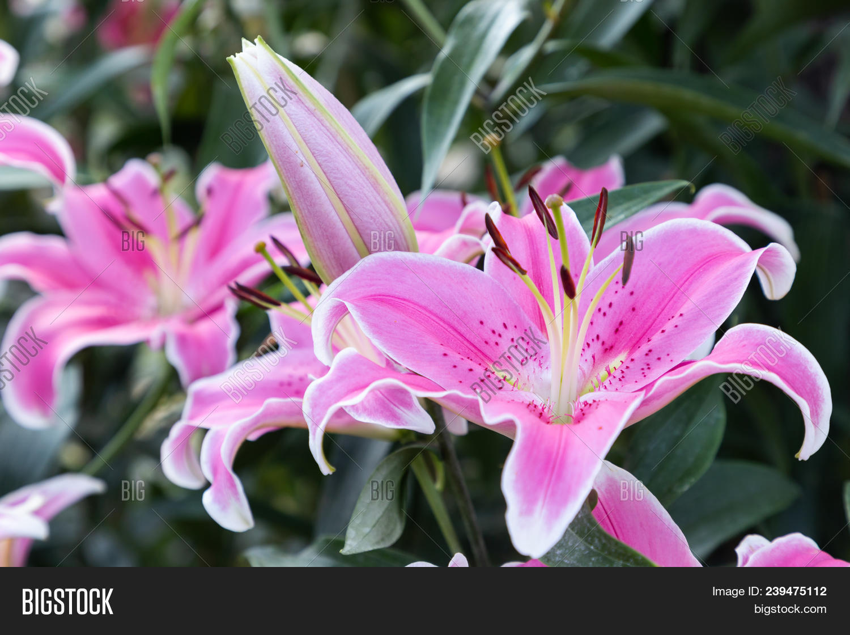 Pink Lily Flower Beautiful In Garden Lilium Hybrids