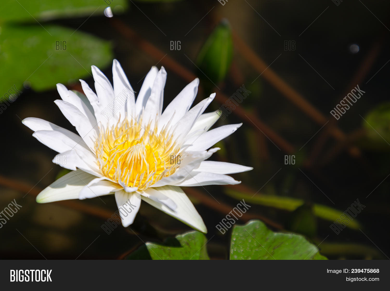Beautiful Lotus Flower Image Photo Free Trial Bigstock