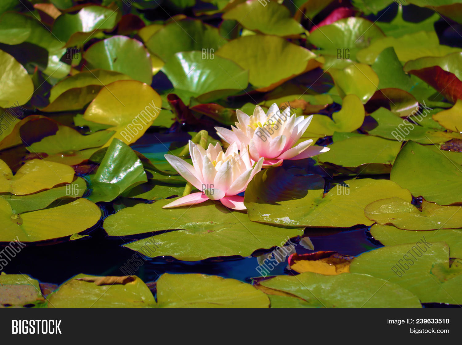 Lily pads lotus image photo free trial bigstock lily pads with lotus flowers taken at a koi lily pond in a garden izmirmasajfo