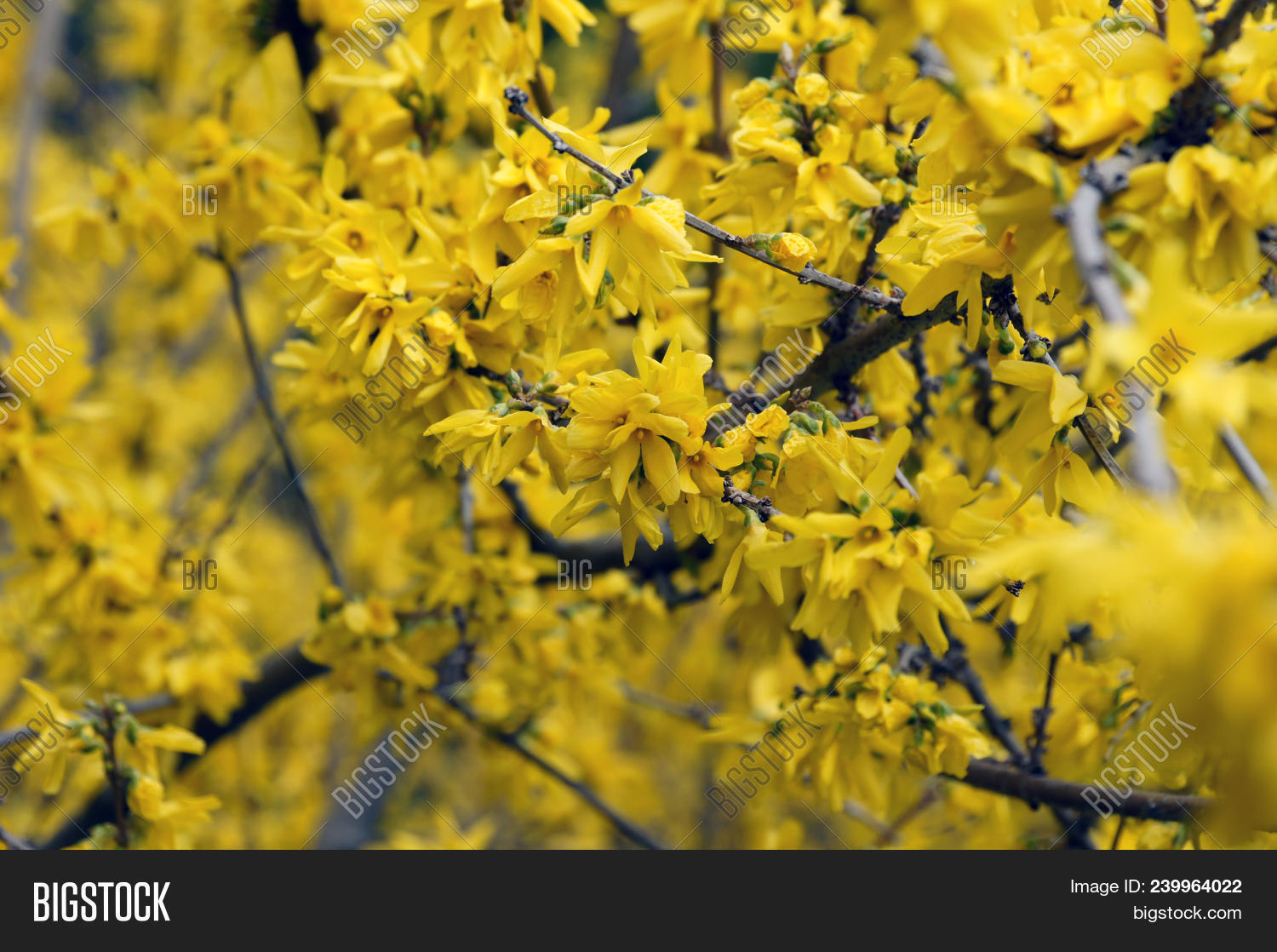 Yellow Flower Acacia Image Photo Free Trial Bigstock