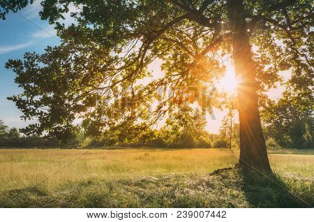 Sun Shining Through Greenery Oak Foliage In Green Park. Summer Sunny Forest Trees And Green Grass. N