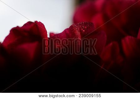 Red Peony Blossom On White Background.   Selective Focus On Flower Petals With Raindrops.   Extreme
