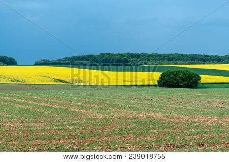 French Landscape - Lorraine. Blooming Canola Field With Thunderstorm In The Background.