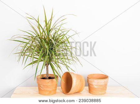 Dracaena Marginata Tricolor, Or Madagascar Dragon Tree. Plant And Clay Pots On A Wooden Shelf.