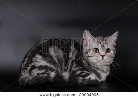 Scottish Stright Cat Portrait