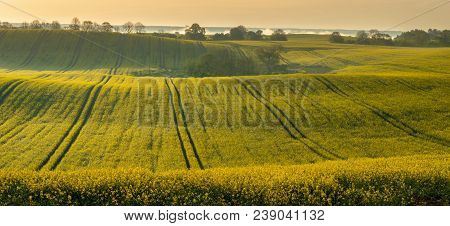 Field Of Blooming Rape, Panorama,panorama Of Spring Rural Landscape. Green Fields Of Young Grain And