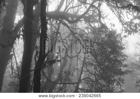 Momochrome Image Of A Rhododendron Forest On A Fogy Day. Scene Near Pokhara, Nepal. Spooky Atmospher