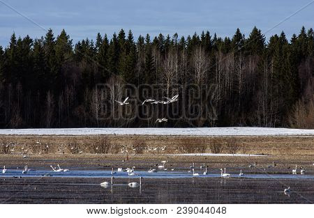 Whooper Swan In And Above A Lake. Flocks Of Migrating Birds Moves Around The Lake, Water Hole. Fores