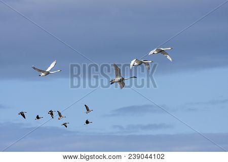A Flock Of Whooper Swan During The Migration. Morning And Sunshine. Taiga Bean Goose In The Backgrou