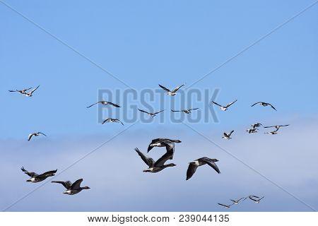 Flocks Of Taiga Bean Goose During The Migration. Bright Sunshine.