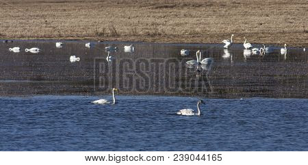 A Flock Of Whooper Swan During The Migration. Morning By The Lake.