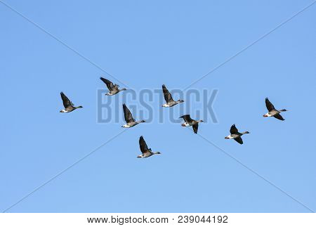 A Flock Of Taiga Bean Goose During The Migration. Bright Sunshine.