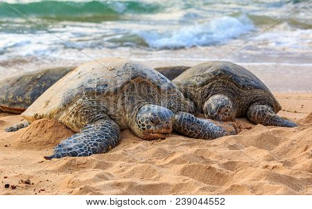 Endangered Hawaiian Green Sea Turtles With Barnacles On Their Shells, Resting On A Sandy Beach At No