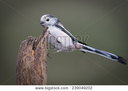 A Close Up Portrait Of A Small Long Tailed Tit Perched On Top Of A Tree Stump Showing The Full Tail