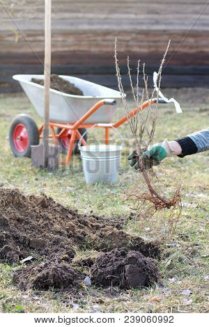 Prickly Branches Of Gooseberry Bush In The Hand Of The Gardener During Planting In The Soil / Garden