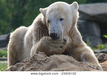 cute icebear