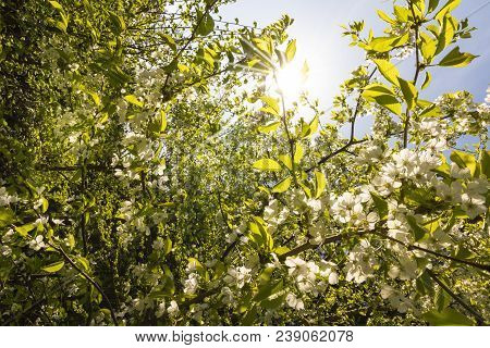 Beautiful Cherry Blossoms In Springtime, Lüneburg Heath, Northern Germany. Backlit Photograph