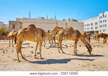 The Camel Pen With Animals, Located In City Center, Next To The Souq Waqif, Doha, Qatar.