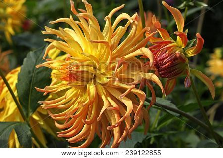 Yellow-amber Dahlia Flower In The Botany Garden