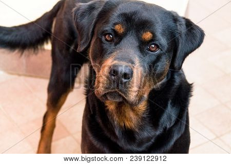 Labrador, Strong And Serious, The Dog, The Dog Looks In Front Of Him