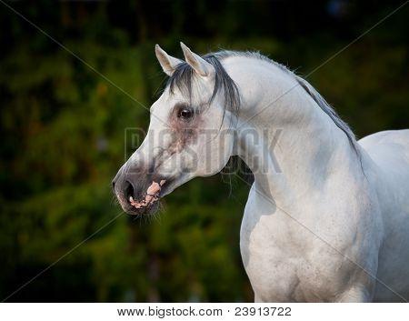 Arabian gray horse portrait. poster