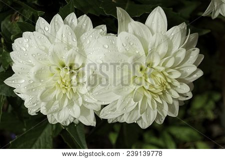 Two White Dahlia Flowers In The Garden