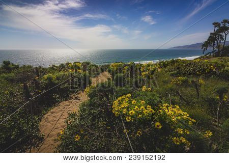 Beautiful Yellow Wildflowers Blooming And Covering Point Dume With A Hiking Trail Running Through Th